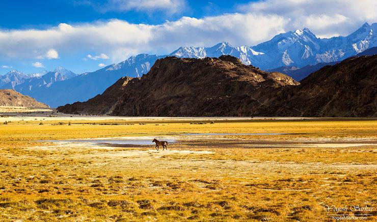 horse-running-in-nubra-valley