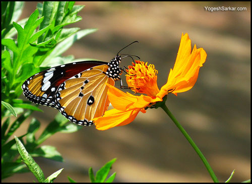 tiger-butterfly