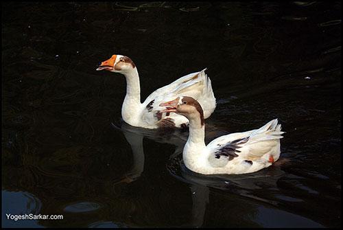 goose-twins
