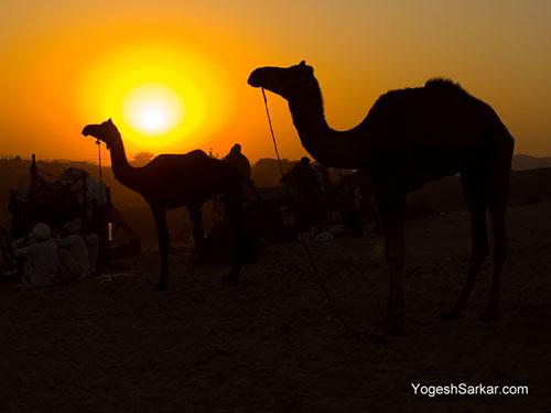 pushkar-camel-fair 2011