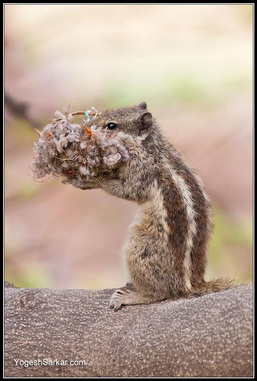 chipmunk-building-nest