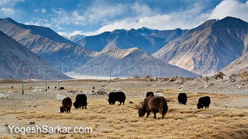 yaks-grazing-near-lac