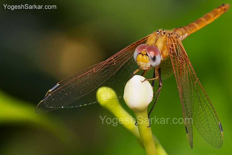 Dragon Fly, shot with Canon 60D and Tamron 17-50 f2.8 lens