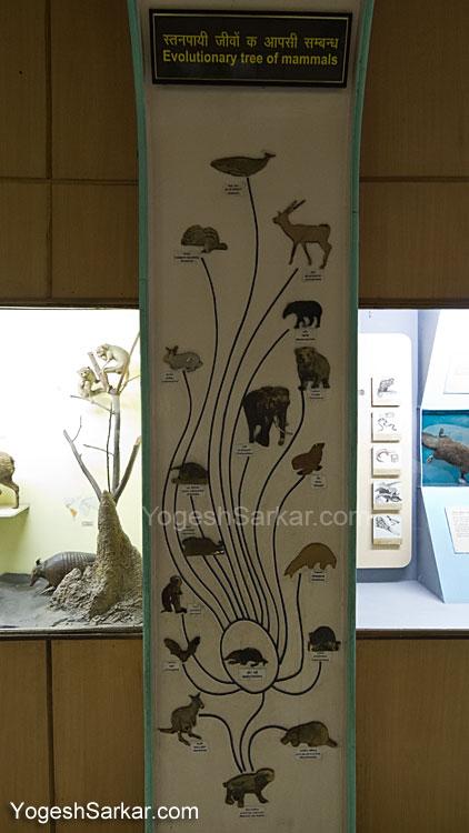 evolutionary tree of mammals