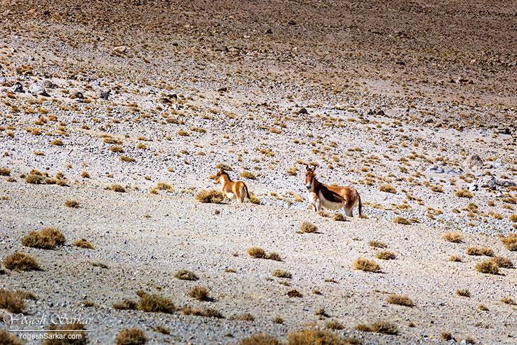 kiang-tibetan-wild-ass