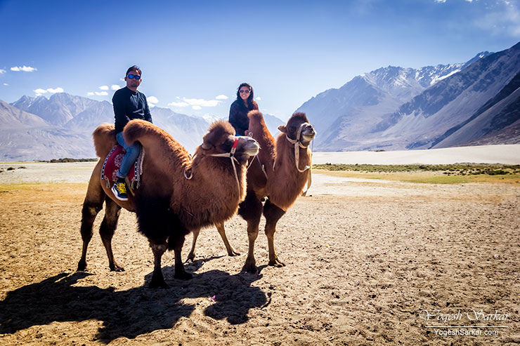 Bactrian Camels at Hunder, Nubra Valley